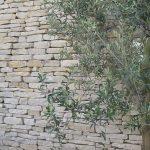 Sandstensmur på oliventræ i potte